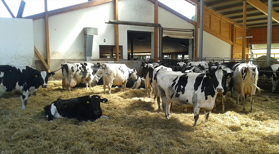 Kühe auf dem Bauernhof der Familie Rist
