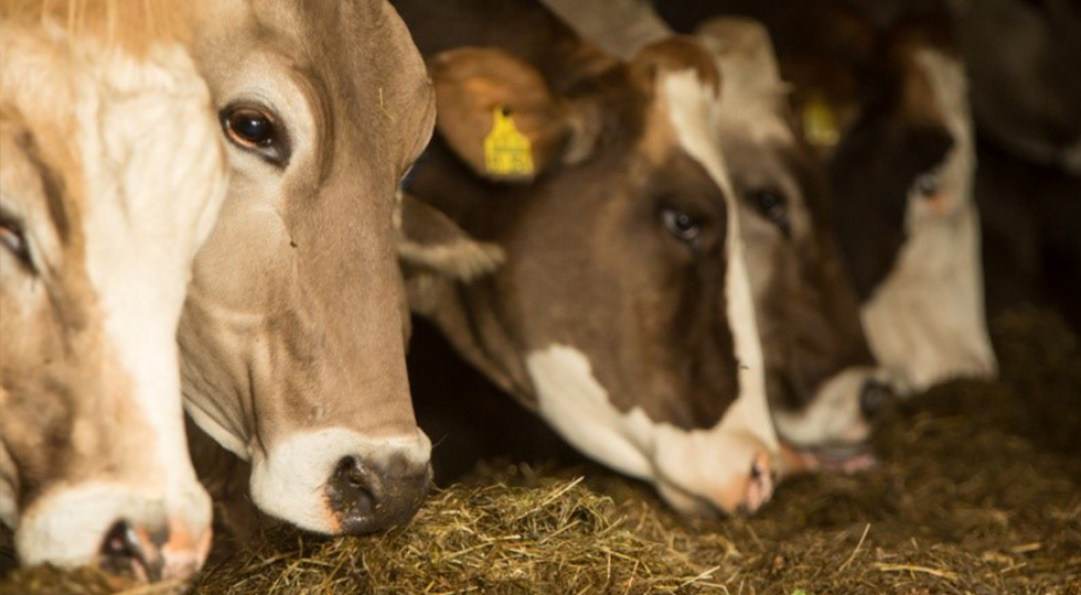Kühe von Familie Strodel
