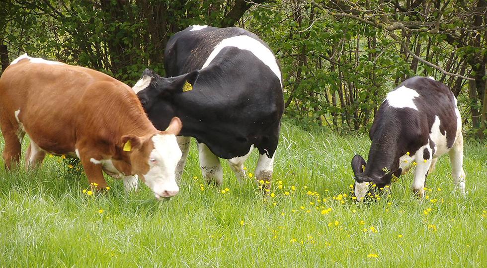 Kühe der Familie Willauer