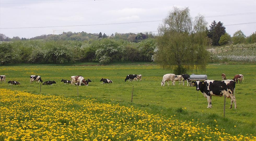 Weidegang der Kühe von Familie Willauer